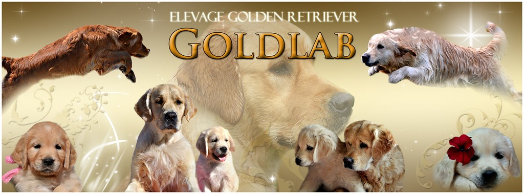 Goldlab Golden Retriever Elevage Familial De Golden Retriever Dans
